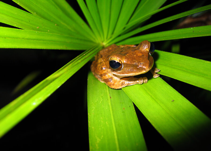Frog on a leaf in Khao Sok national park, Thailand