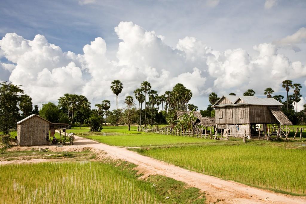 rice field in Battambang