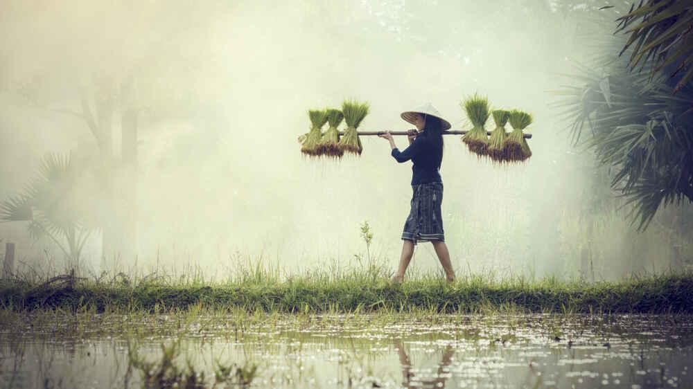 Woman Farmers grow rice in the rainy season.