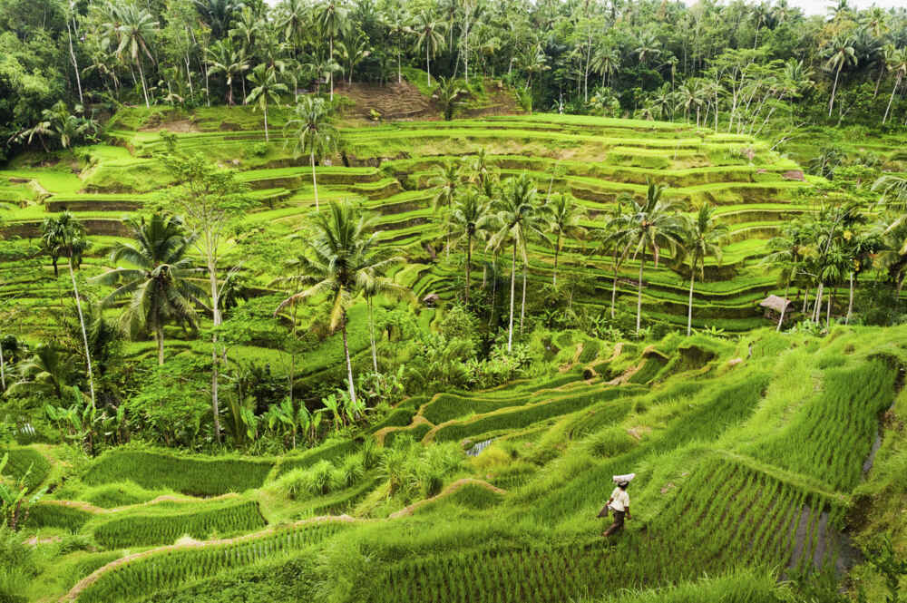 Rice Terraces Ubud Bali Indonesia