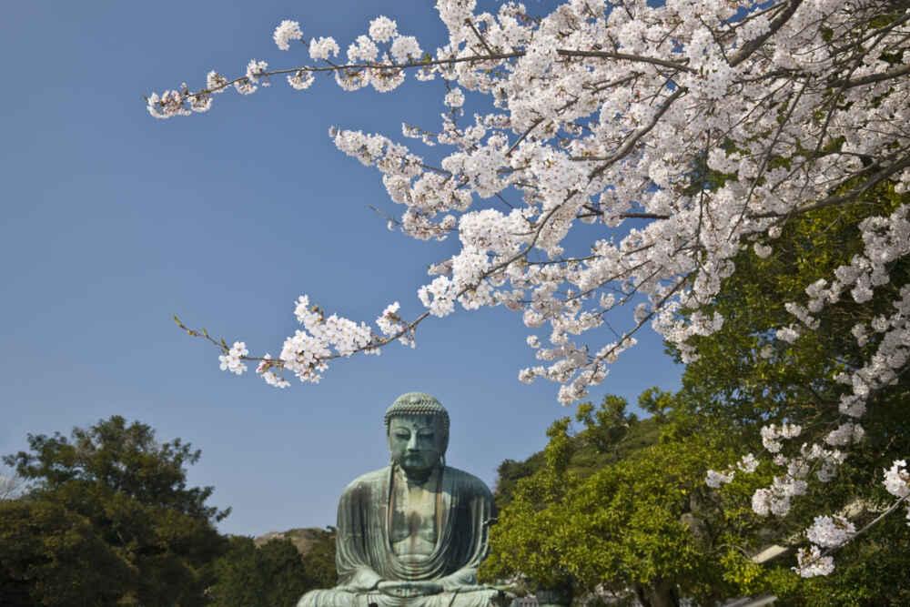 Japan Honshu Kamakura Sakura and Daibutsu