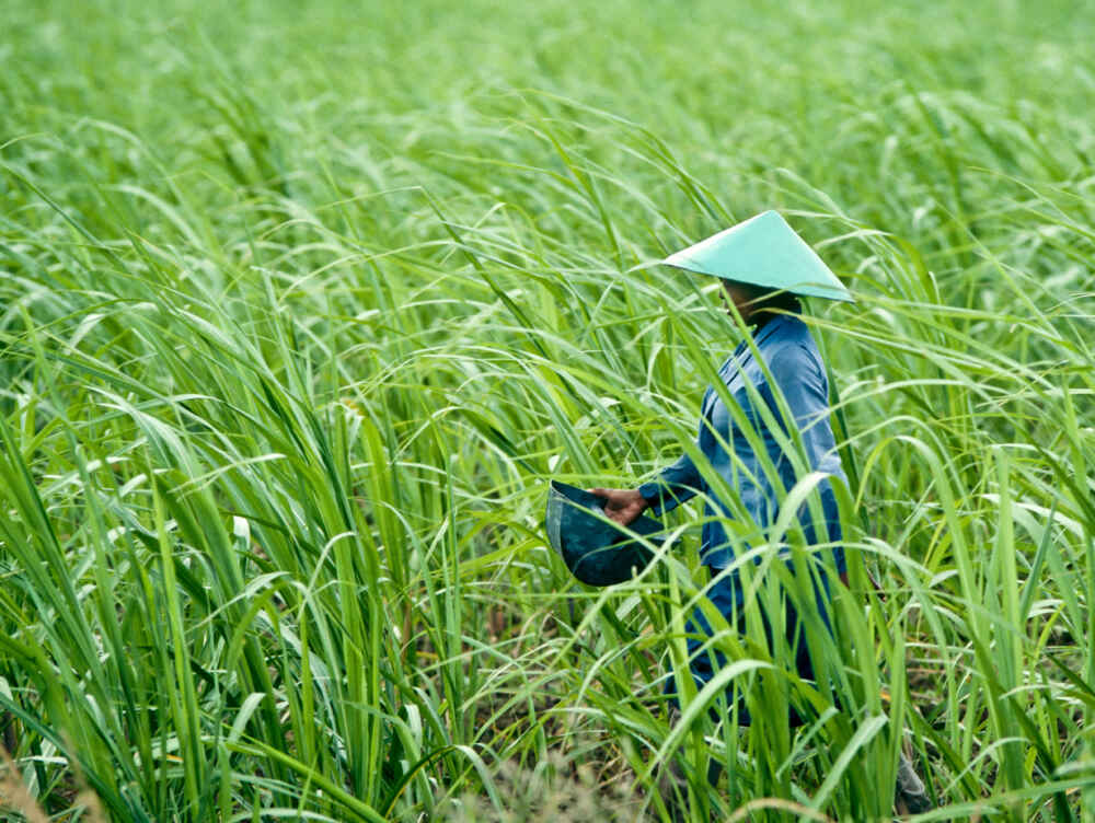 Vietnam visa local woman rice field