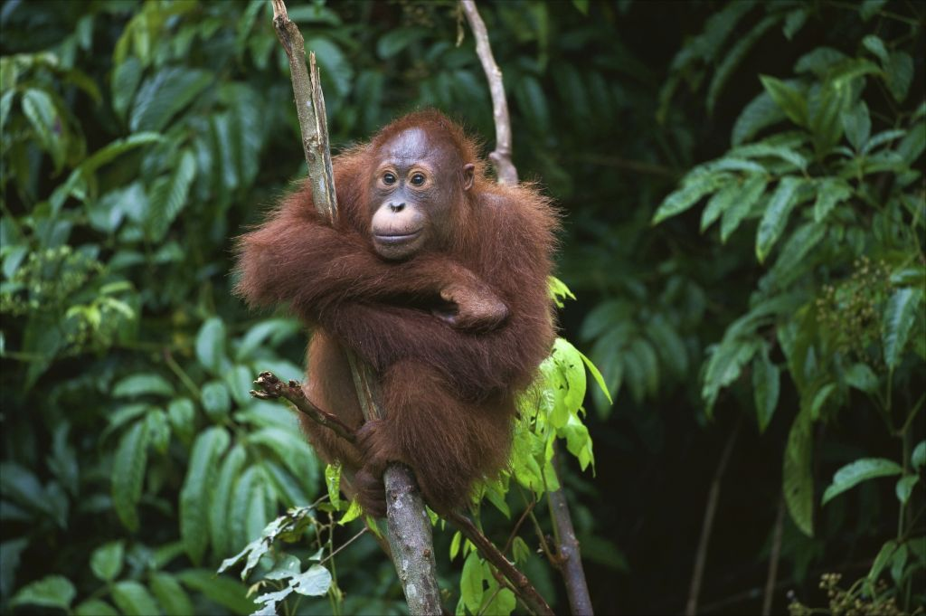 Christmas holiday in Asia - Orangutan of Borneo