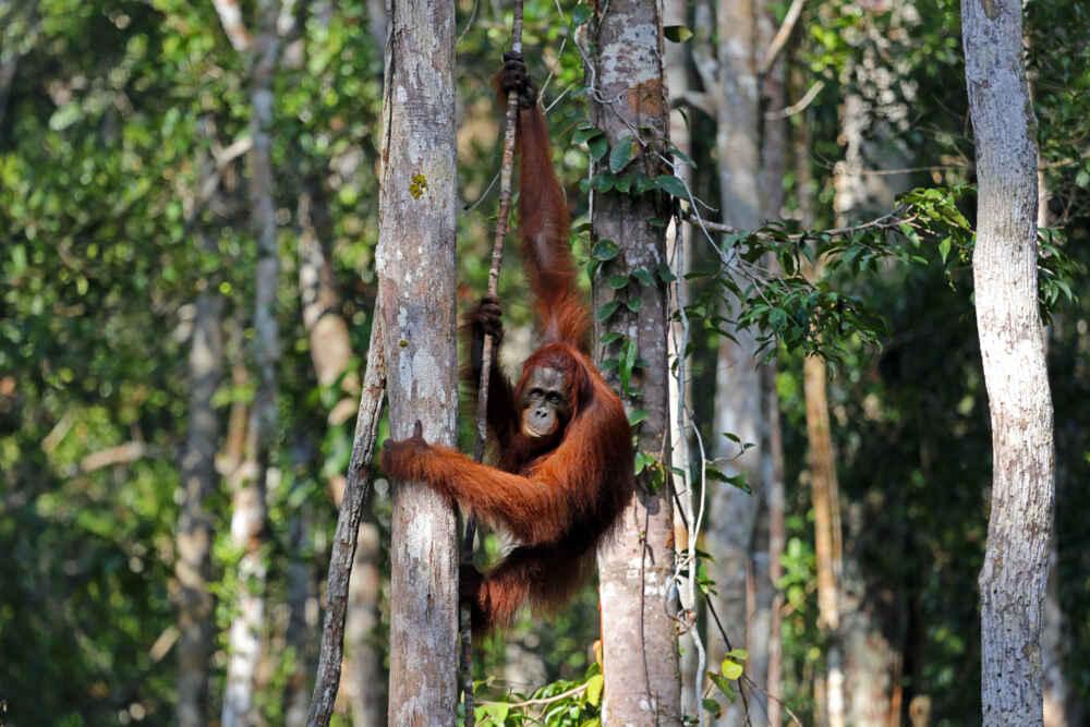 Indonesia Orangutan in Tanjung Puting National Park