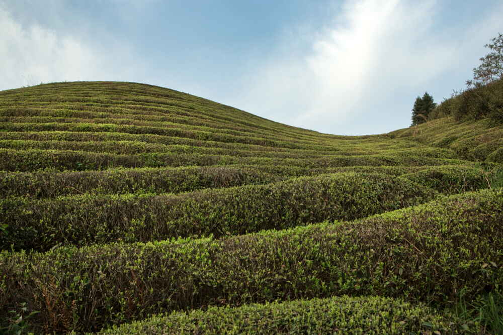 Tea plantation facts about myanmar
