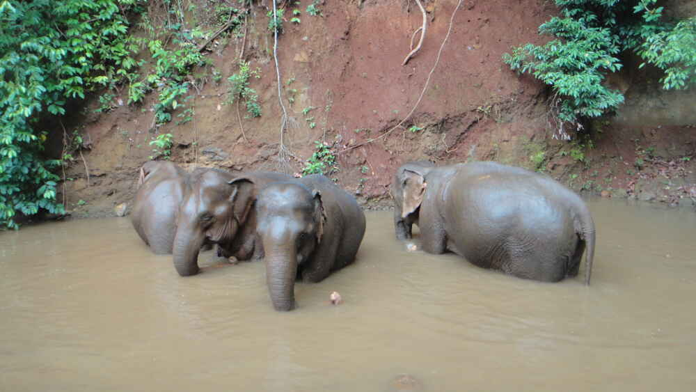 Cambodia Mondulkiri three elephants bathing in river facts about cambodia