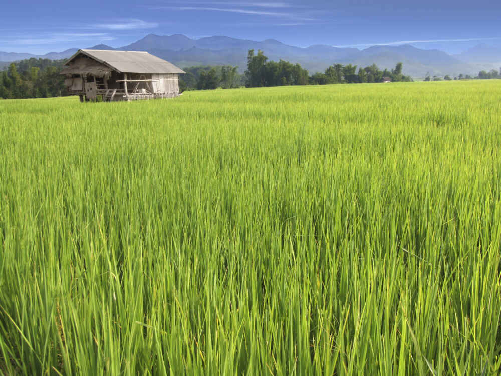 Laos Old Barn in a Green Field