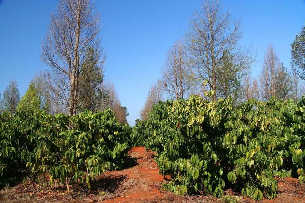 Laos Southern Laos Organic coffee plantation