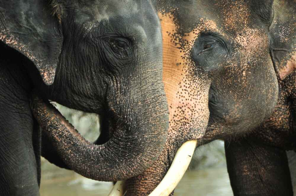 Elephant facts about thailand
