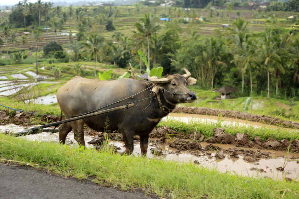 Thailand wildlife Water Buffalo facts about thailand