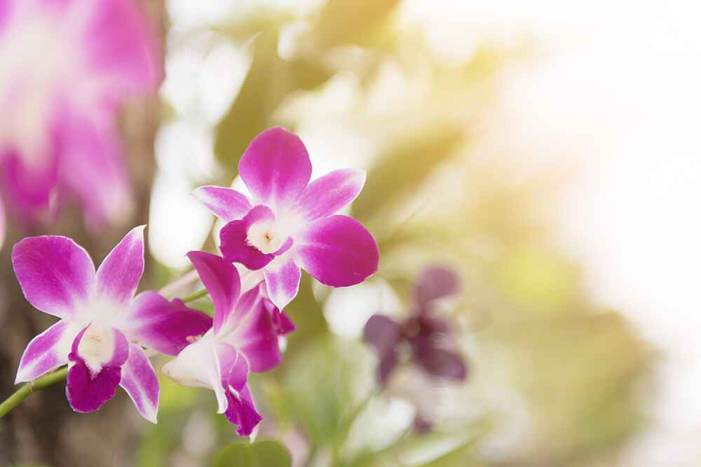 orchid facts about thailand
