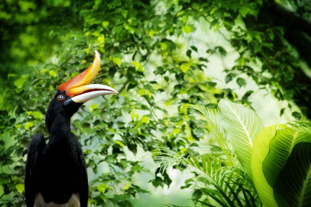 Malaysia Borneo Hornbill