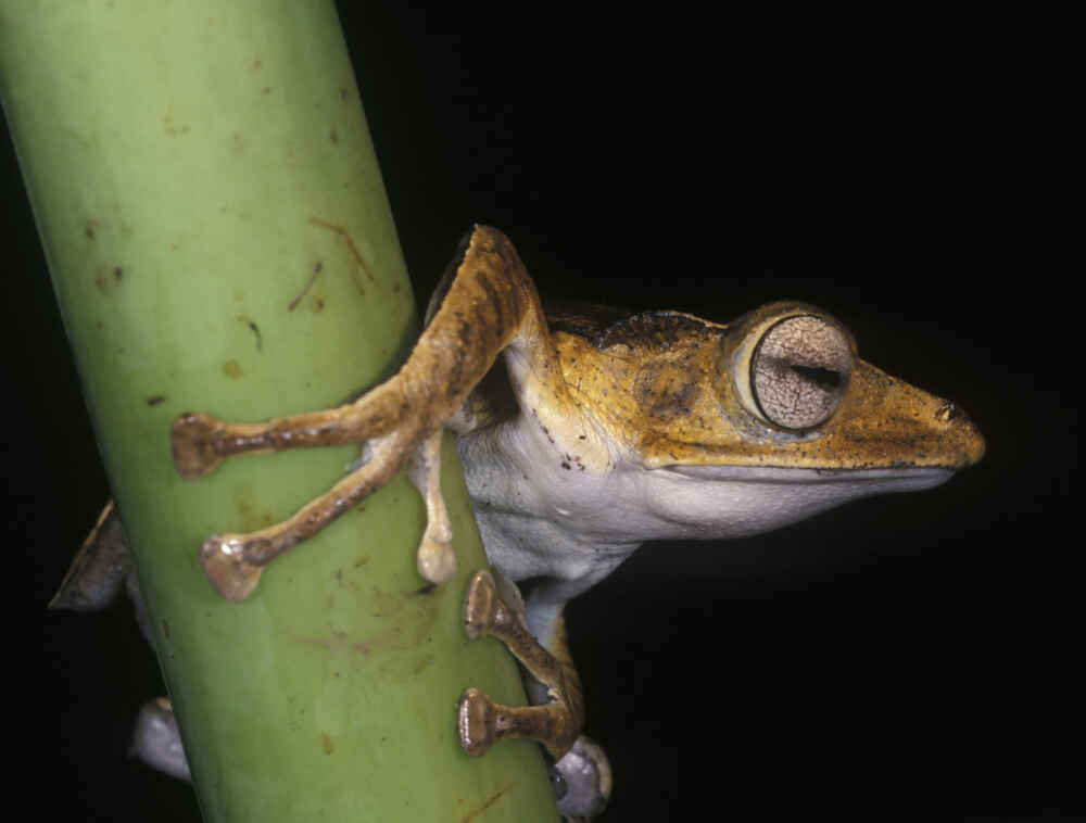 Malaysia Borneo Sabah Masked Tree Frog Facts about borneo
