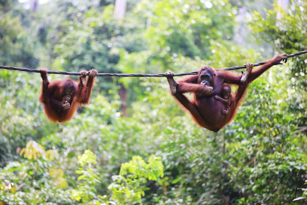orangutans in Borneo - mother and its kids