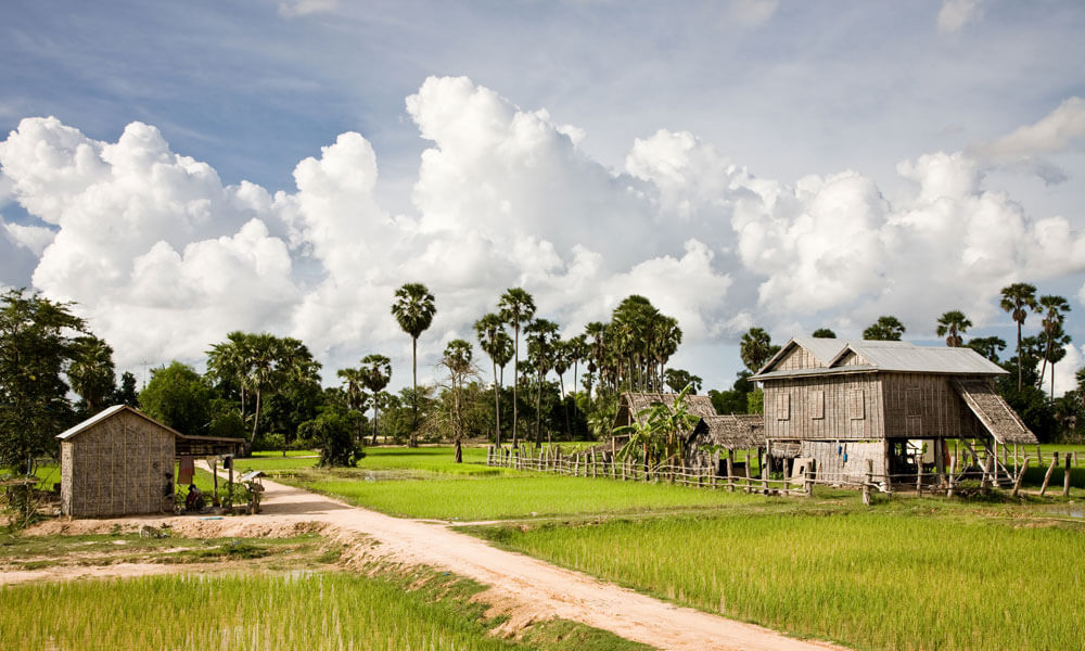 Khmer Cuisine Tour: rice fields in Battambang