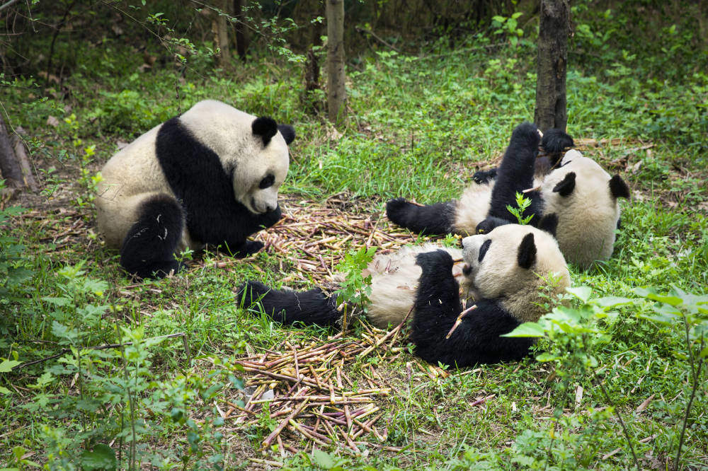 Pandas eating bamboo in China