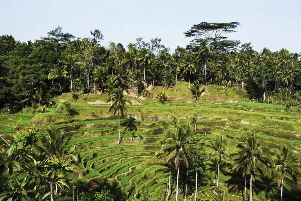 Indonesia Bali Rice fields on terrace