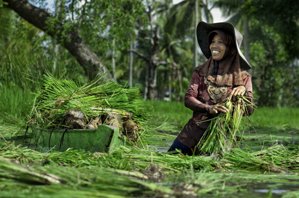 Indonesia Kalimantan Banjarmasin A peasant plucking paddy from a wet field to be moved to dry field