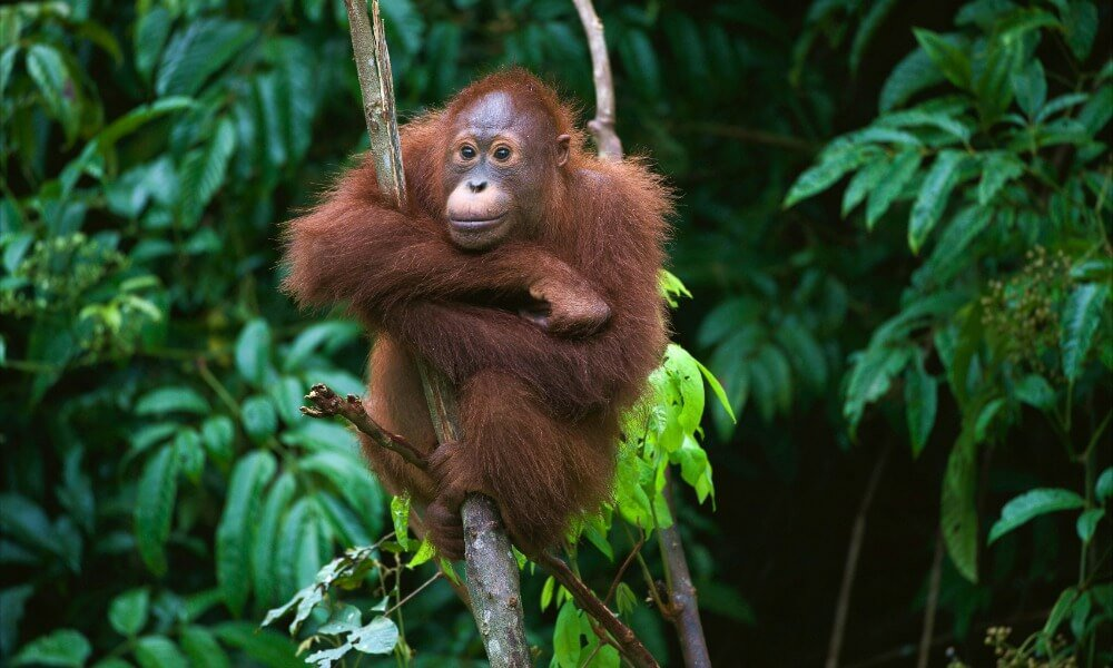 best of Sumatra: orangutans