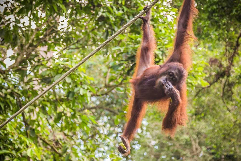wild orangutans on our Borneo luxury tour