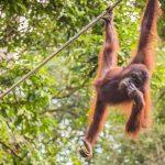 Malaysia-Orangutan-Sabah-wildlife-tour