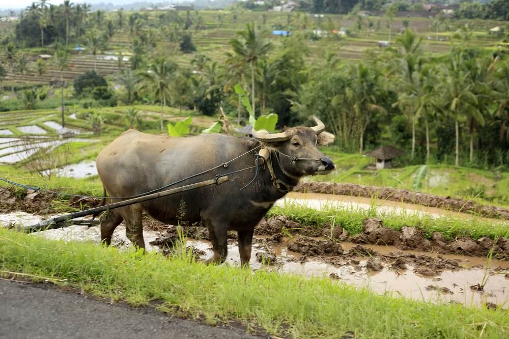 Thailand, Laos and Cambodia tour: buffalo walking on rice field