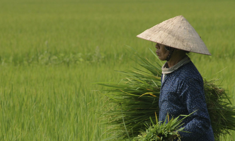 Vietnam private tour: local farmer in a rice field