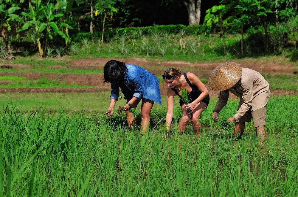tourists collecting rice on the field in Laos