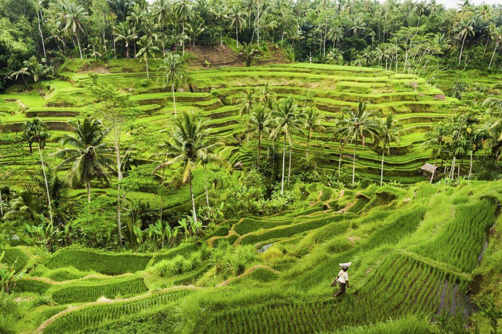 Bali art and spirituality tour: rice paddies