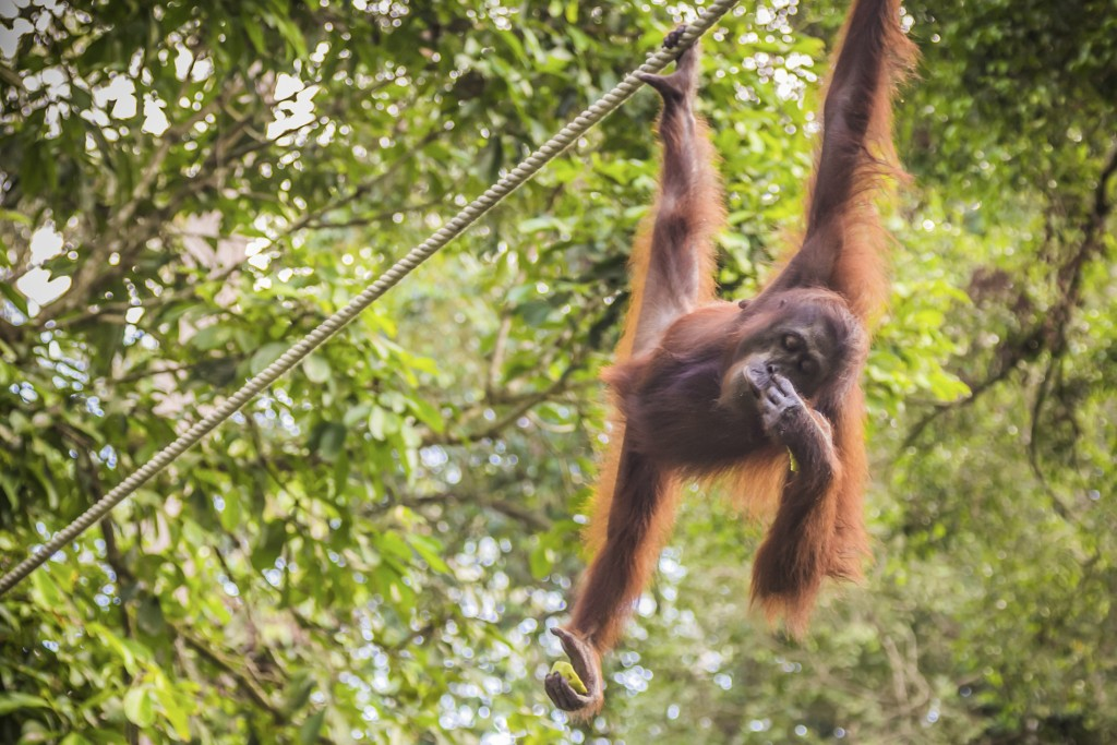 Malaysia - Borneo - An Orangutan swinging from a rope in a forested area Borneo Malaysia.
