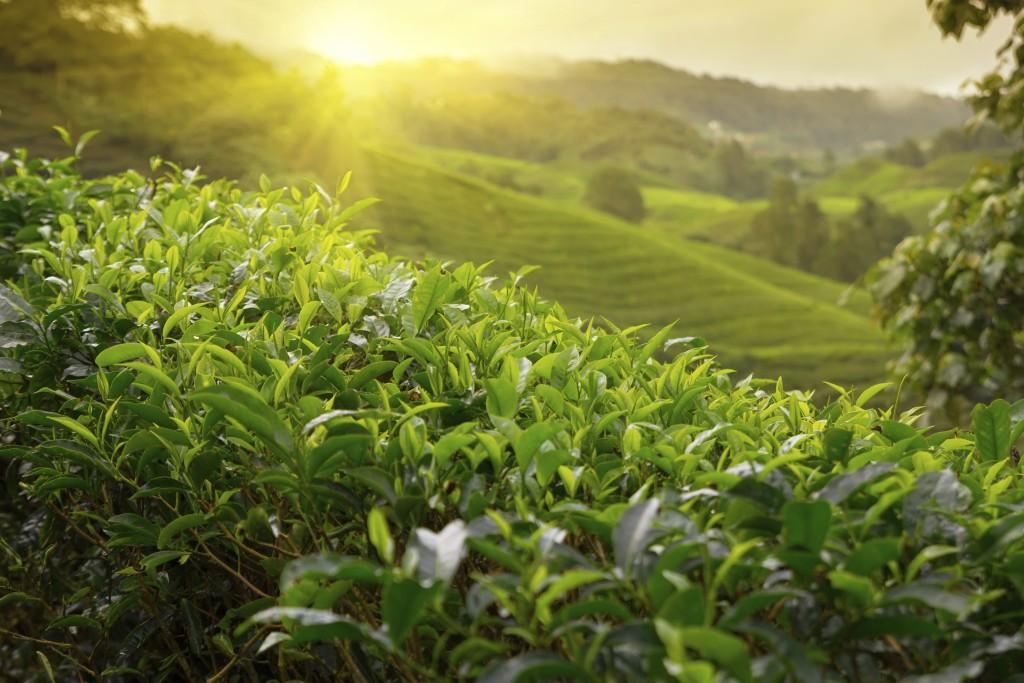 Malaysia - Cameron - Highlands Tea Plantation