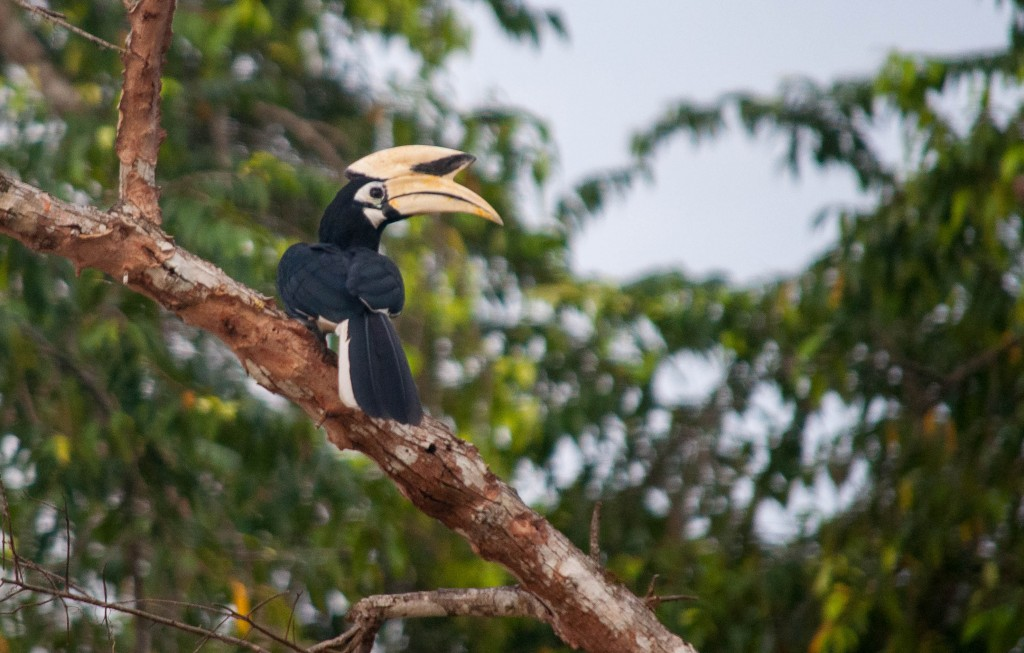 best place to visit in Malaysia: Hornbill in jungle, Borneo, Malaysia