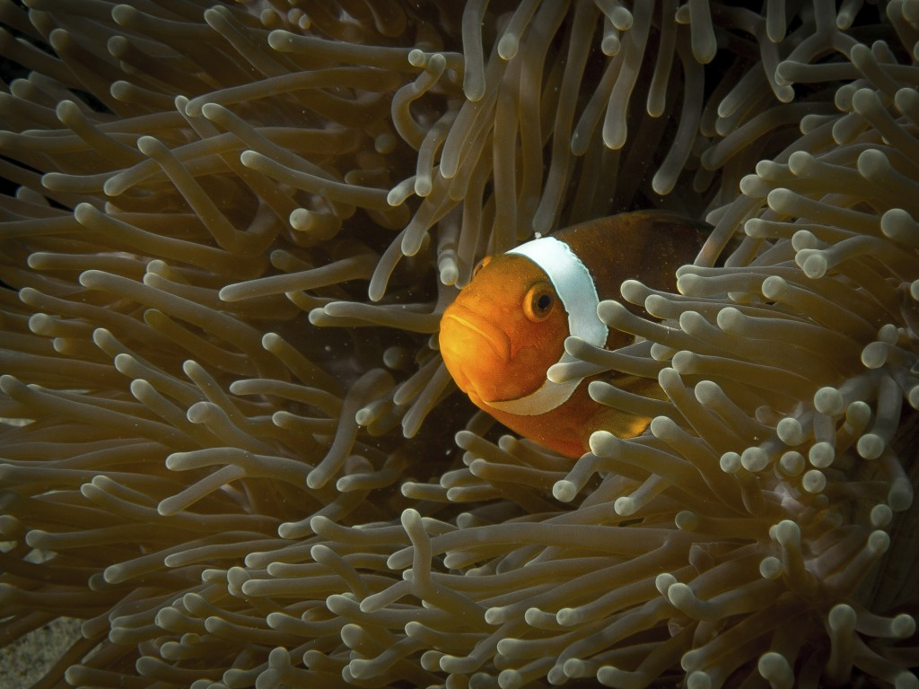 Clown fish in Tioman island diving Malaysia
