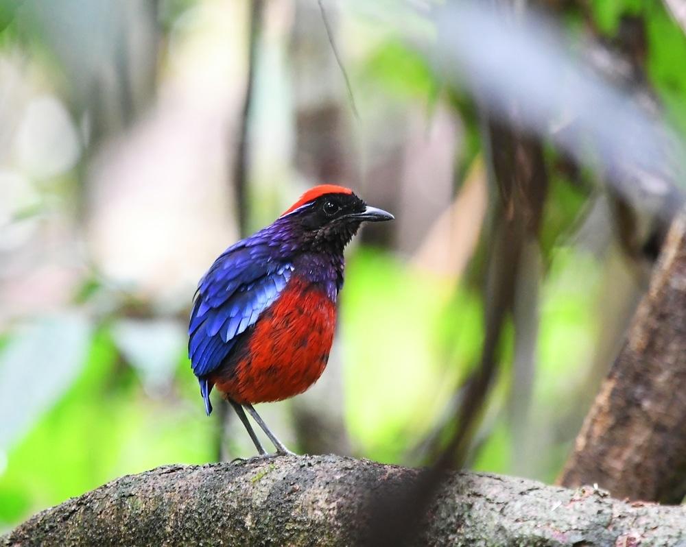Taman Negara National Park Malaysia - bird, jungle