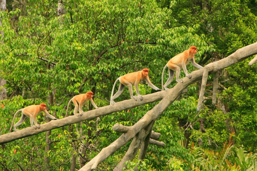 Best place to go in Malaysia with family: proboscis monkeys climbing on a tree