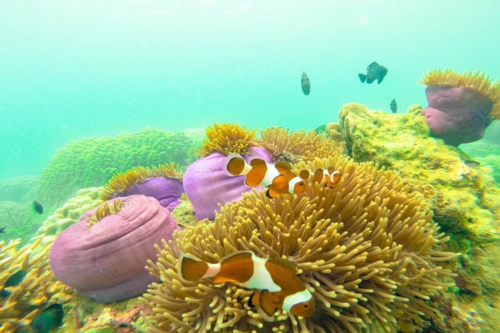 Perhentian Islands, Malaysia: Long beach - underwater clown fish wildlife nature