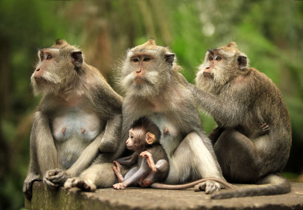 Bali honeymoon itinerary: Monkey Family in Indonesia