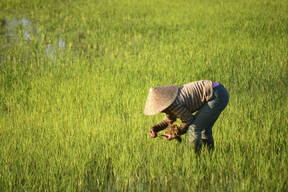 family tour Laos: woman working in a rice field