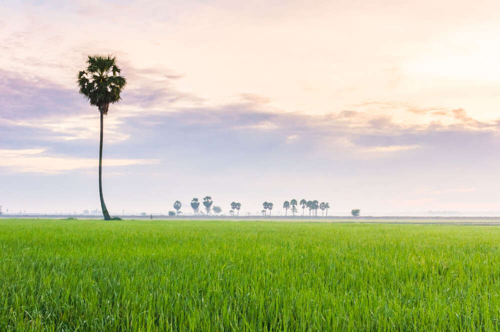 mekong delta cycling tour: rice field with one tree