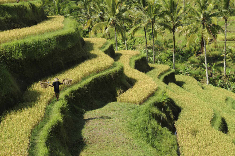 Ubud culture trip: Farmer walk in the Green rice terraces