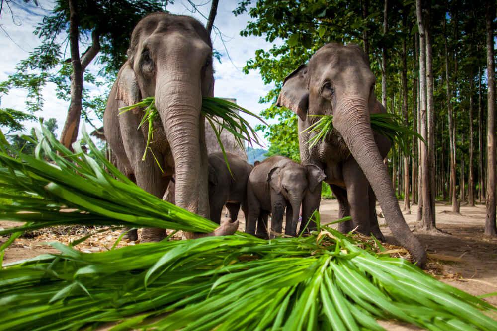 Laos elephants eating green leaves