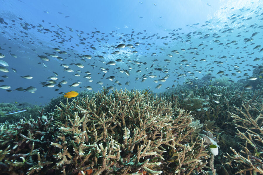 A large school of Ternate Chromis Chromis ternatensis over a reef of Staghorn Coral Acropora formosa, some Lemon Damsel Pomacentrus moluccensis and a Bluestriped Fangblenny Plagiotremus rhinorhynchos at the left Raja Ampat, Indonesia